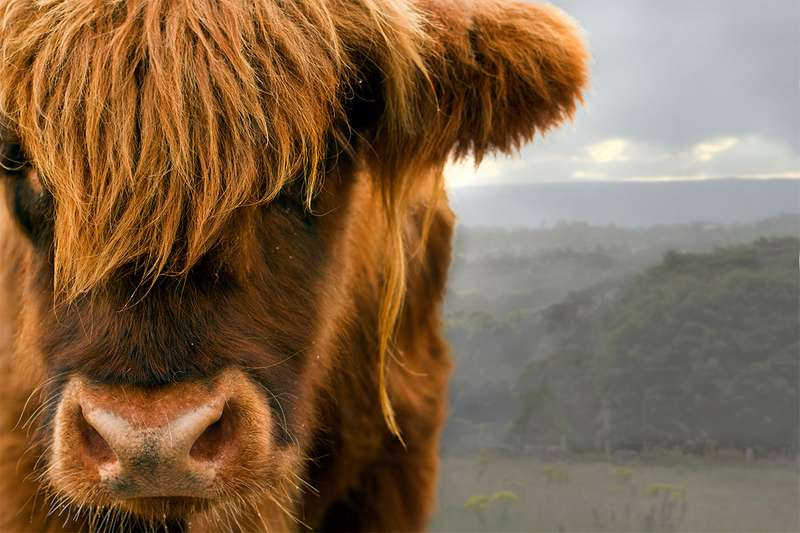 Close-up of cow's face
